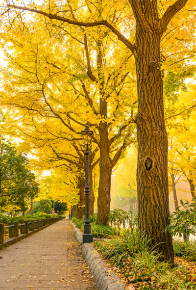 A row of ginkgos at Yamashita Park in Yokohama, Japan.