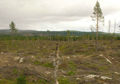 Logging operations in Sweden clear-cut up to 95 percent of trees on logging tracts, which are then replanted in a monoculture of spruce or pine.