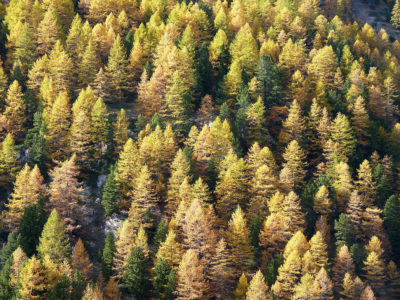 Larch trees in northern Asia.