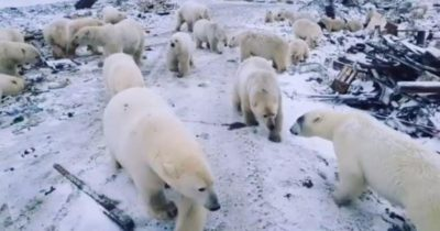 Polar bears scrounge for food at a garbage dump outside Belusha Guba.