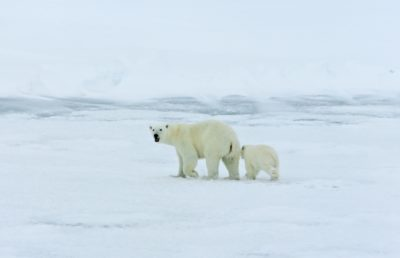 Mother polar bear and cub on the Arctic Ocean.