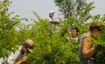 University of Delaware entomologist Douglas Tallamy (top) and students compare insect use on Chinese and American elm trees.