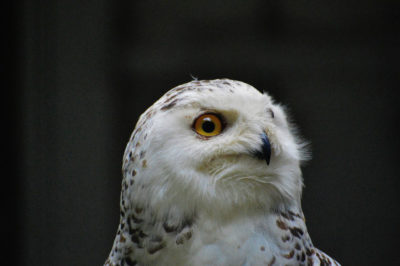 The snowy owl (Bubo scandiacus) is one of many familiar bird species that now find themselves globally threatened with extinction.