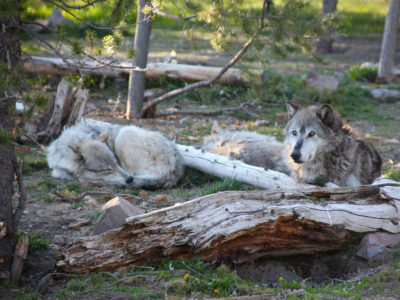 Gray wolves were reintroduced in Yellowstone National Park under the Endangered Species Act, which congressional Republicans are seeking to overhaul.