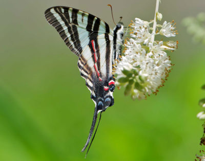 Zebra swallowtails are entirely dependent on pawpaw trees, which have leaves that are the butterflies' larvae only source of food.
