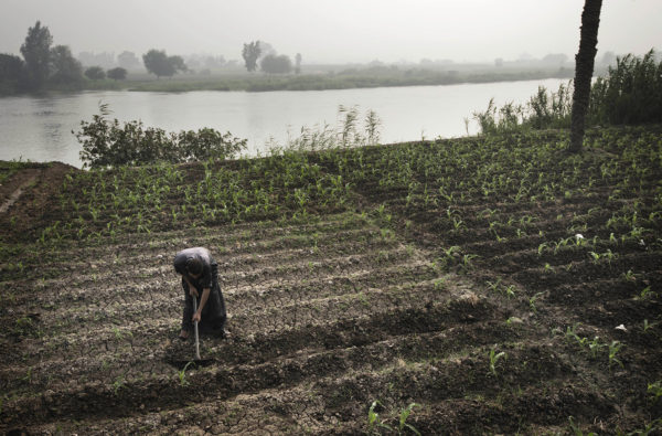 An Egyptian farmer tends fields on the banks of a branch of the Nile in the river's delta.