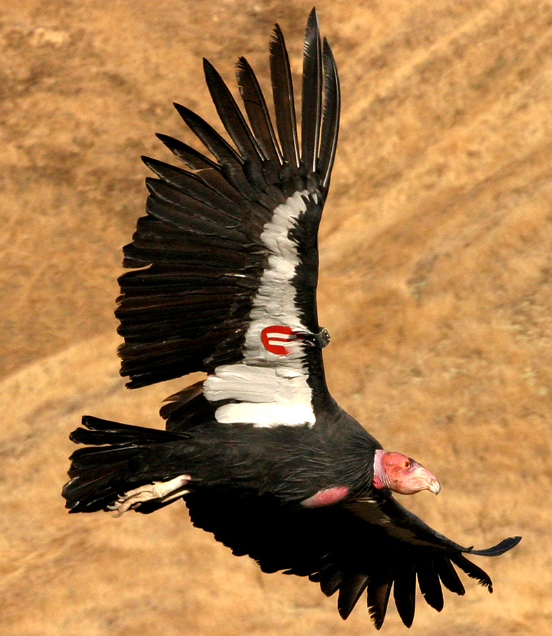 CaliforniaCondor_USFWS_800sq.jpg