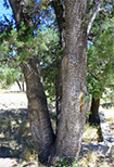 Alligator Juniper on Mount Lemmon University of Arizona