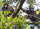 Chimps in DRC