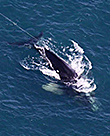 Entangled Right Whale EcoHealth Alliance