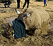 Injured Rhino in South Africa