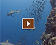 Million Dollar Reef Sharks