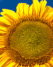 Sunflower Inspires MIT Solar Design