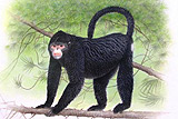 Greater Mekong Species Elvis Monkey