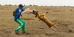 An Ol Pejeta Conservancy ranger trains Belgian Malinois dogs to track and apprehend poachers.