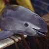 In Mexico, Fish Poachers Push Endangered Porpoises to Brink