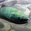 California salmon