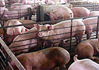industrial agriculture has thwarted factory farm reforms