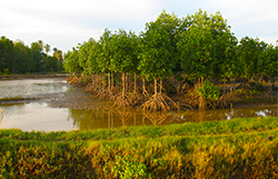 Aceh mangroves