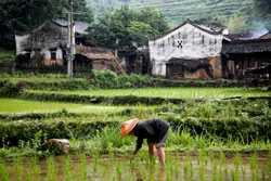 Rice harvesting in Hunan Province