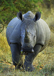 Rhinoceros South Africa
