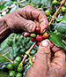 Spurred by Warming World, Beetles Threaten Coffee Crops