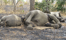 Elephants slaughtered in Cameroon Africa