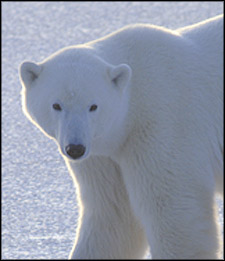 Climate Change End Near For Hudson Bay Polar Bears