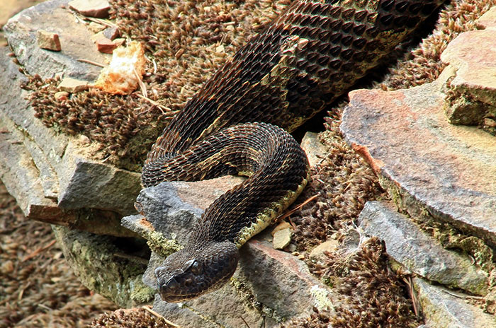 kolbert_gallery_e360_timber_rattlesnake.