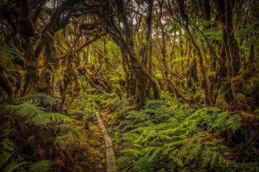 Trouble in Paradise: A Blight Threatens Key Hawaiian Tree