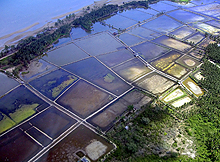 Shrimp Farming near Mangroves