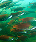The Problem with the Pacific Salmon Resurgence