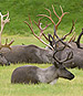 A Troubling Decline in the Caribou Herds of the Arctic