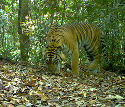 Sumatran Tiger Camera Trap Photo