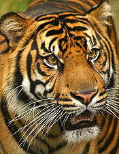 Tiger Recovery Efforts World Bank