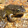yellow-legged frog