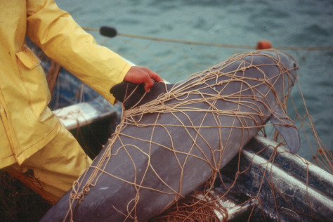 vaquita-in-gillnet_NOAA.jpg