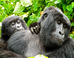 Virunga gorillas