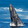 A Total Ban on Whaling? New Studies May Hold the Key