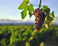 Wine Grapes Climate Change
